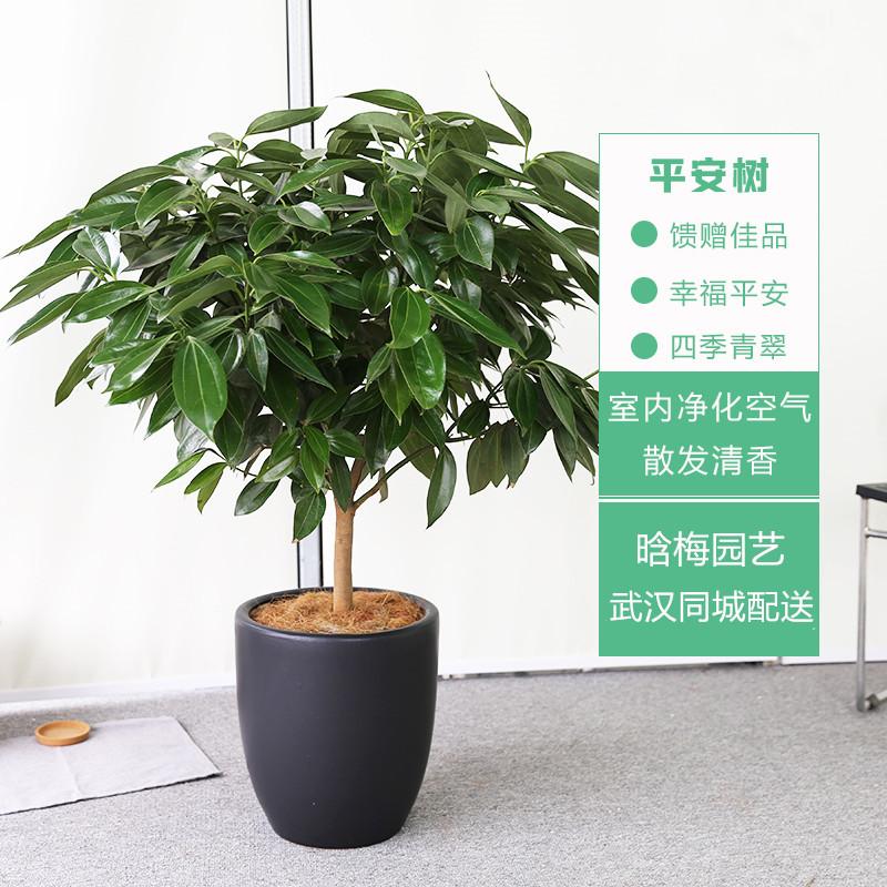 盆栽植物平安树_平安树盆栽 - 武汉花卉租摆盆栽租赁、园林绿化苗木销售养护